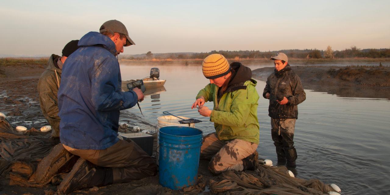 Stillaguamish estuary restoration gives juvenile salmon more places to rear