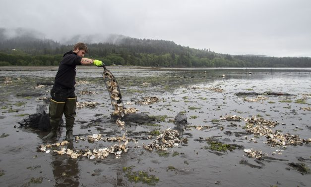 Tribe boosts Olympia oyster population in Sequim Bay