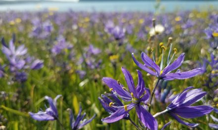 Swinomish Tribe nurtures fields of camas to revitalize traditional food