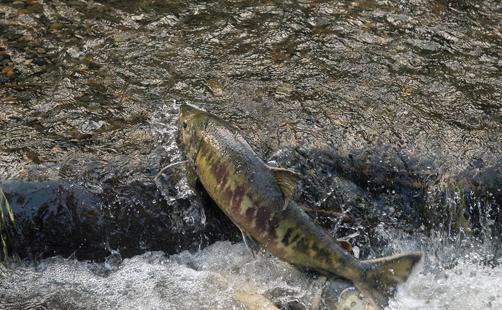 Recovering salmon will take leadership, cooperation and commitment