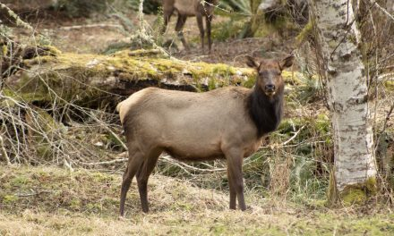 Tribes Track Duckabush River Elk Herd with Collars and DNA