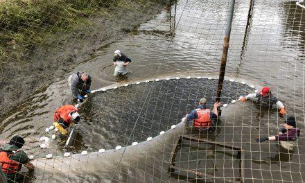 Tribes Partner in Net Pen Program, Ensuring Fish for All