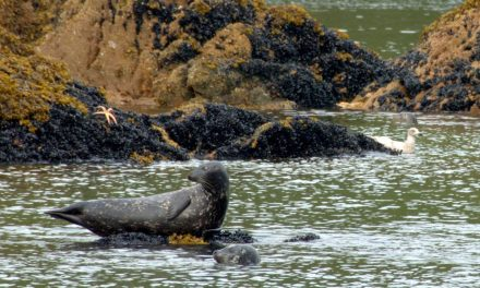 Tribes Team Up with State on Harbor Seal Survey