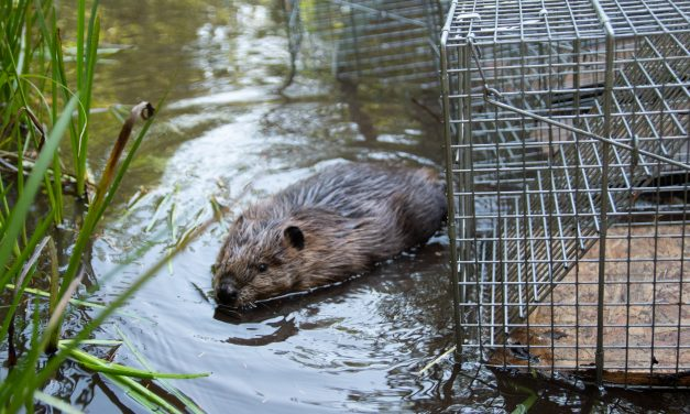 Beaver program expands, increasing habitat resilience to climate change