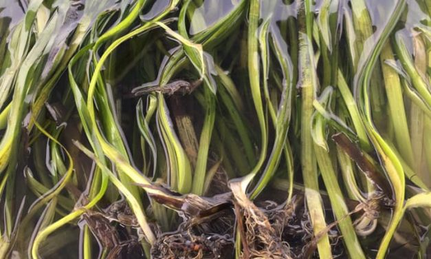 Eelgrass Shows Explosive Growth in Port Angeles Harbor