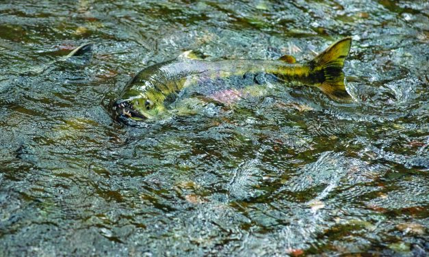 Low Chum Returns Shorten Fisheries, Reduce Egg Take