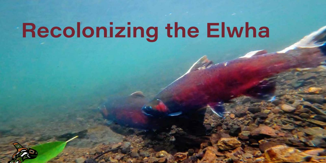 Recolonizing the Elwha