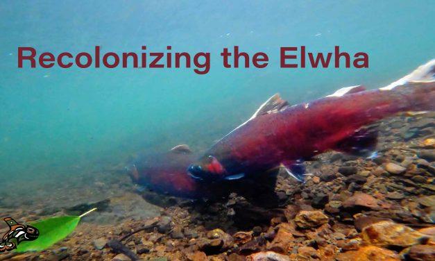 Recolonizing the Elwha