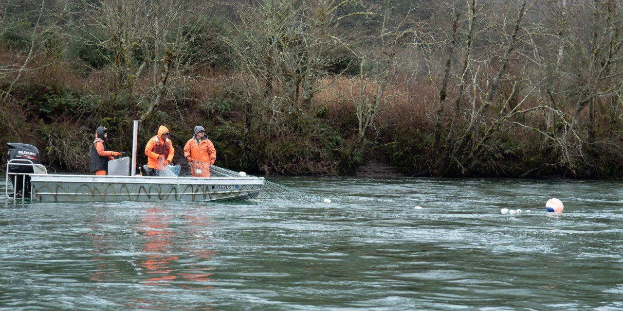Opportunities dwindle for treaty steelhead harvest on the Skagit River