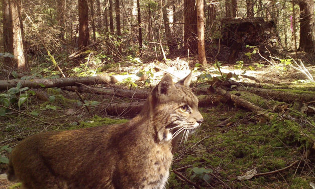 Peninsula Tribes Develop Collaborative Approach to Wildlife Monitoring