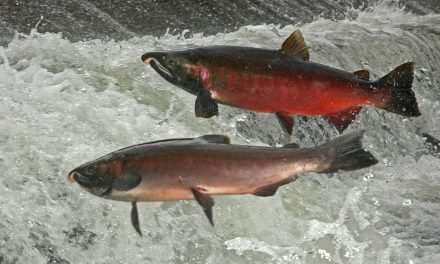 Salmon Recovery Requires Everyone on Deck