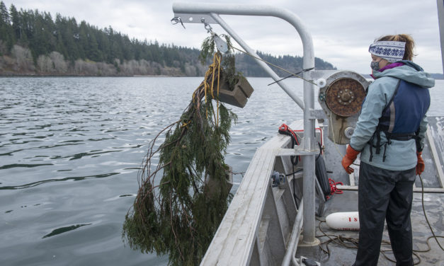 Nisqually Tribe Uses Traditional Knowledge to Attract Herring Spawn