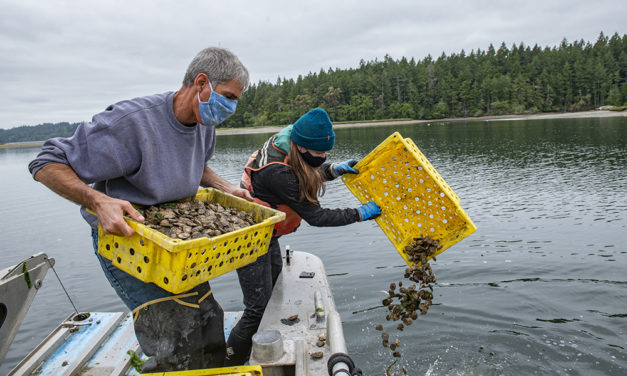 Squaxin Island Continues Work to Reestablish Olympia Oyster Population