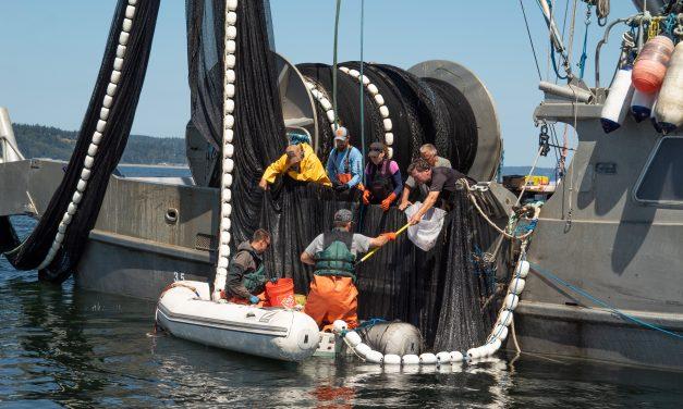 Sampling juvenile salmon is key to understanding poor marine survival